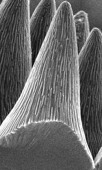 Mikrometergroße Kegel mit winzigen Falten sind die Ursache der satten Farben von Stiefmütterchen und können Reflexion an der Oberfläche von Solarzellen minimieren. (Bild: R.Schmager/KIT)